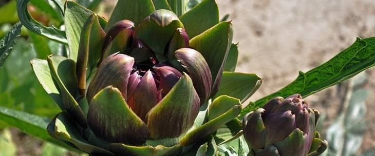 Fotografija zelenog cveta artičoke